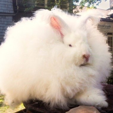 Angora Rabbit shearing shed, New Zealand