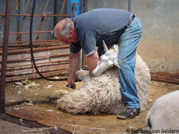 Angora Rabbit shearing shed, New Zealand