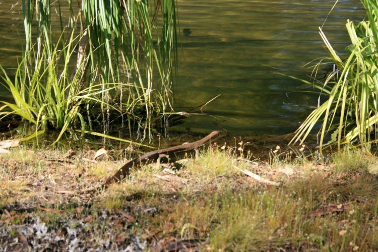 Mehrtens Water Monitor, NT, Australia
