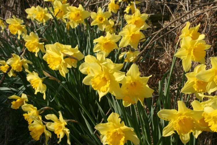 English Lake District daffodils image