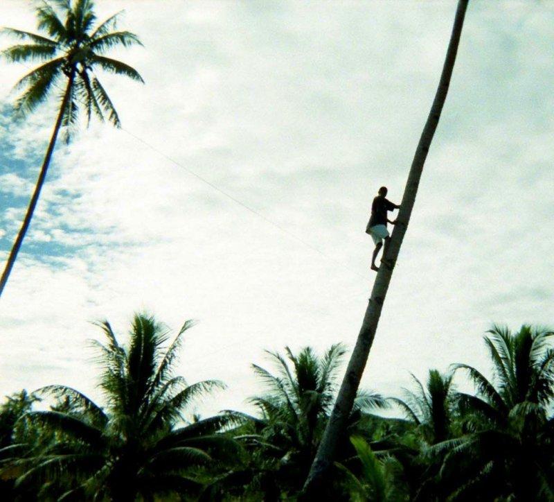 climbing tree, Fiji