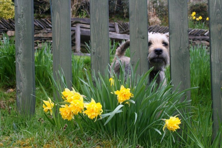 English Lake District daffodils and dog