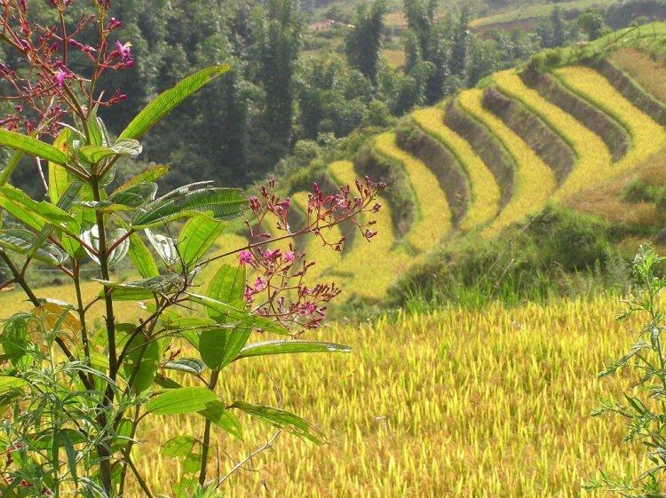 Rice-terraces-around-Sa-Pa-Vietnam