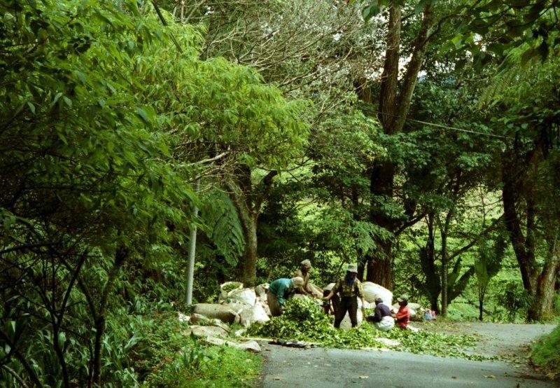 Tea pickers, Cameron Highlands, Malaysia