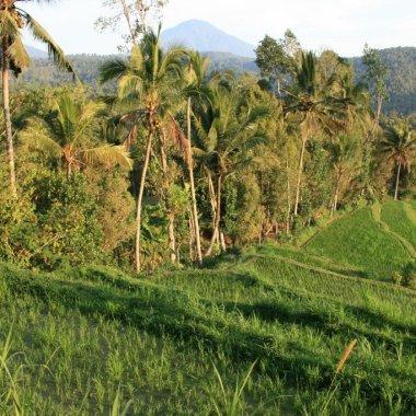 Rice fields of Bali - Munduk