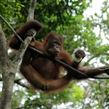 Orang-utans in Borneo at the Rasia Ria Nature Reserve in Sabah, Malaysia