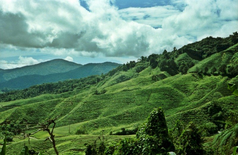 Tea plantations in the Cameron Highlands, Malaysia