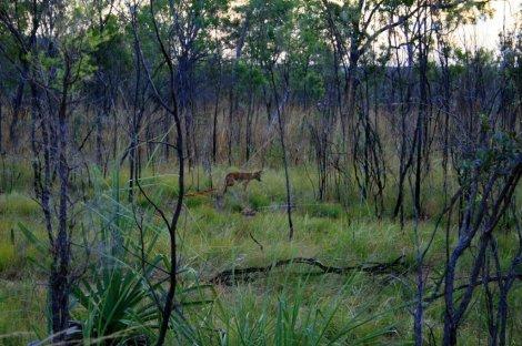Wild dingo, Litchfield National Park, Australia