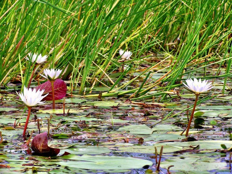 Waterlilies in the Okavango Delta of Botswana