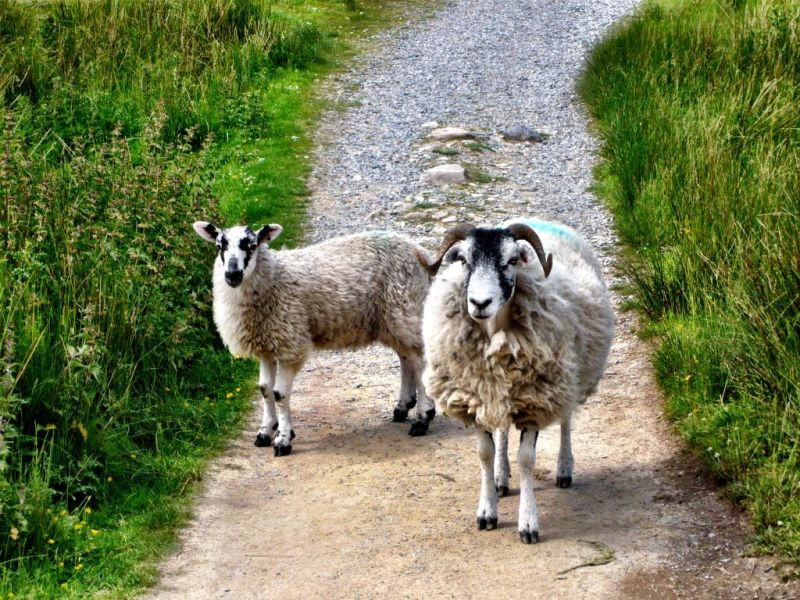 Swaledale Sheep in Yorkshire Dales