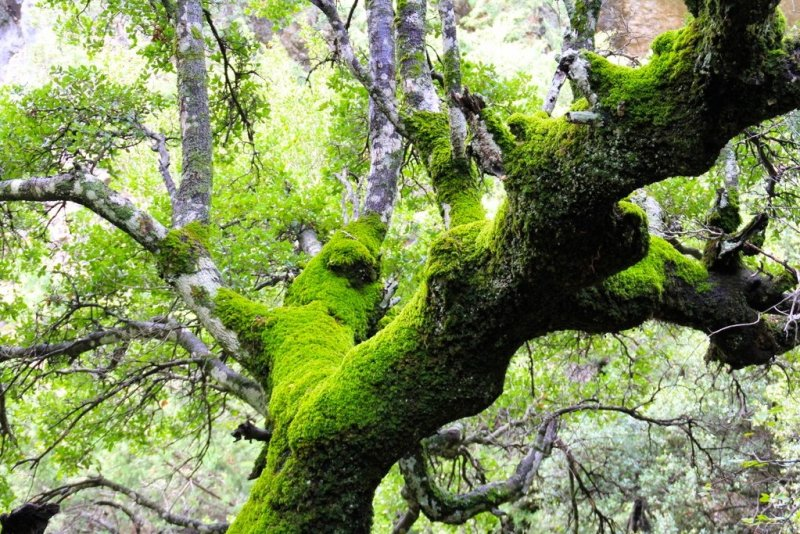 Imbros Gorge trees and moss Crete