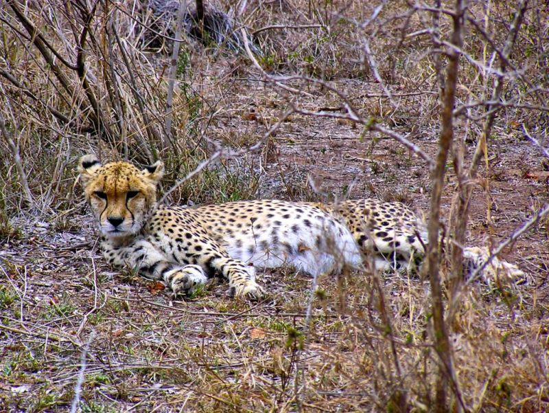 Cheetah in Hlane Park, Swaziland