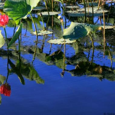 Kakadu National Park waterlilies