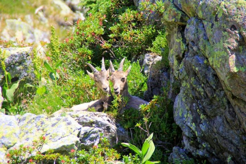 Chamois - hiking the Tour du Mt Blanc