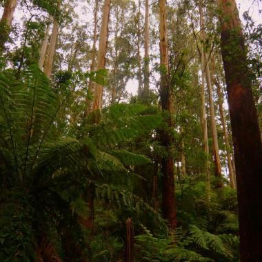 Forest in the Dandenong Ranges, Victoria Australia