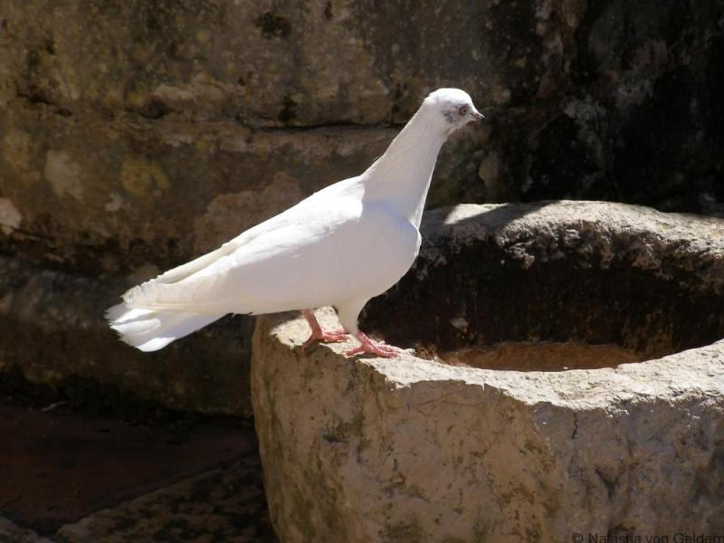 A dove in Assisi, Italy
