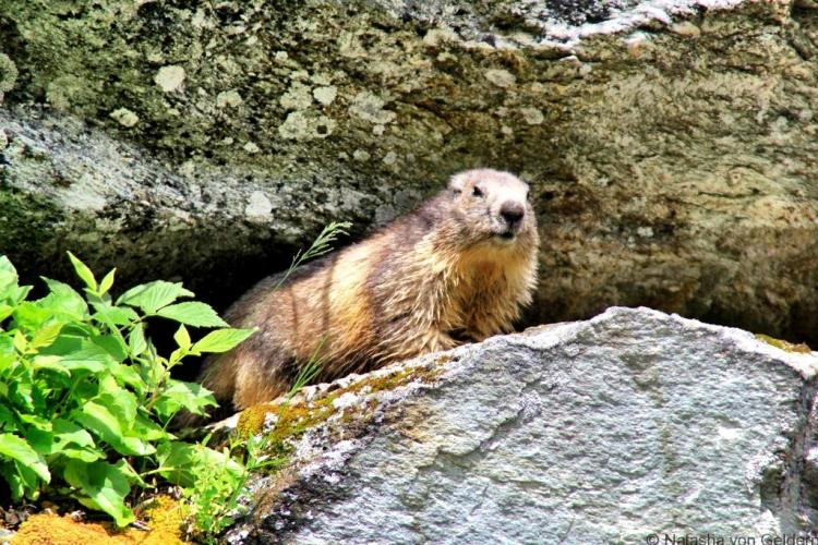 Tour du Mt Blanc hiking marmot