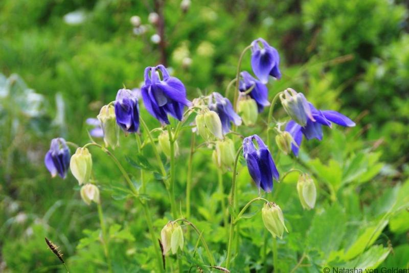 Wildflowers TMB Courmayeur to Elisabetta