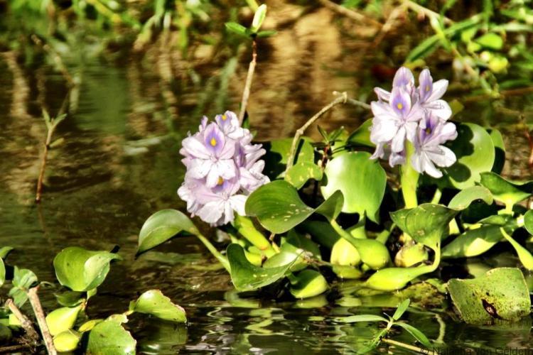 Inle Lake water hyacinth Myanmar