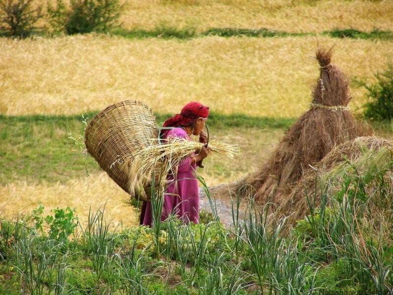 Harvesting in Kareri Village India