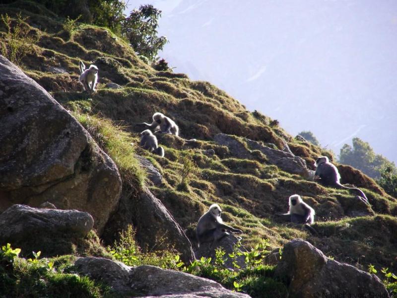 Languars Himchal Pradesh India