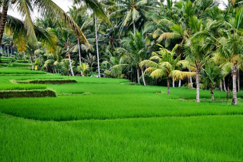 Ubud rice fields in Bali Indonesia