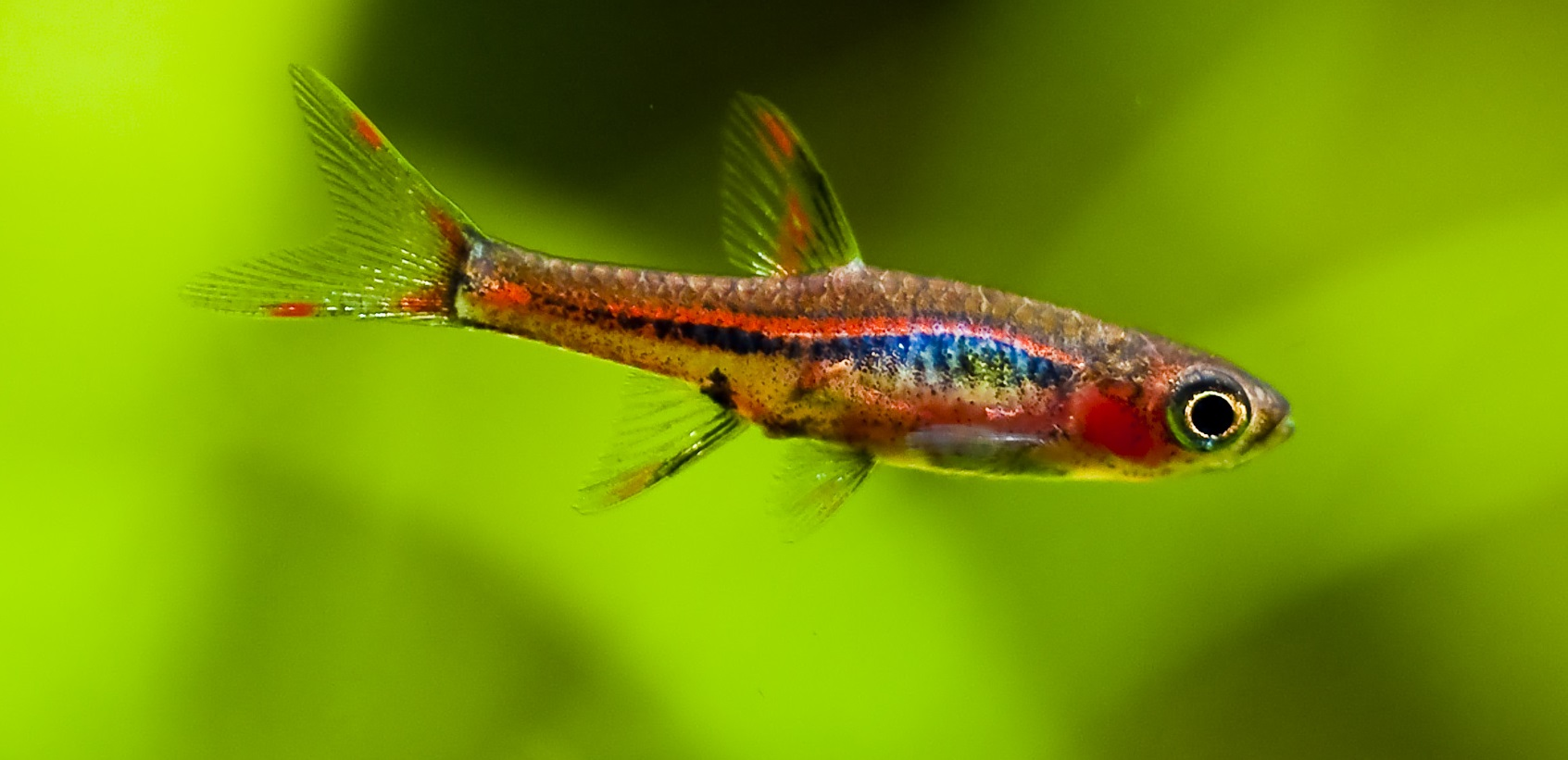 Chili Rasboras – Live Fish and Tropical Pets