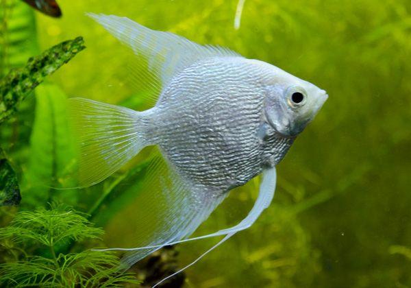 Platinum Angelfish – Live Fish and Tropical Pets