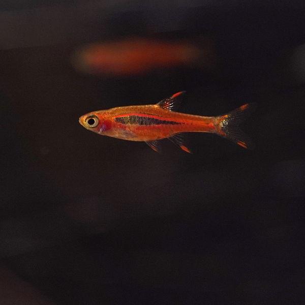 Buy Chili Rasboras Online - World Wide fish and Pets