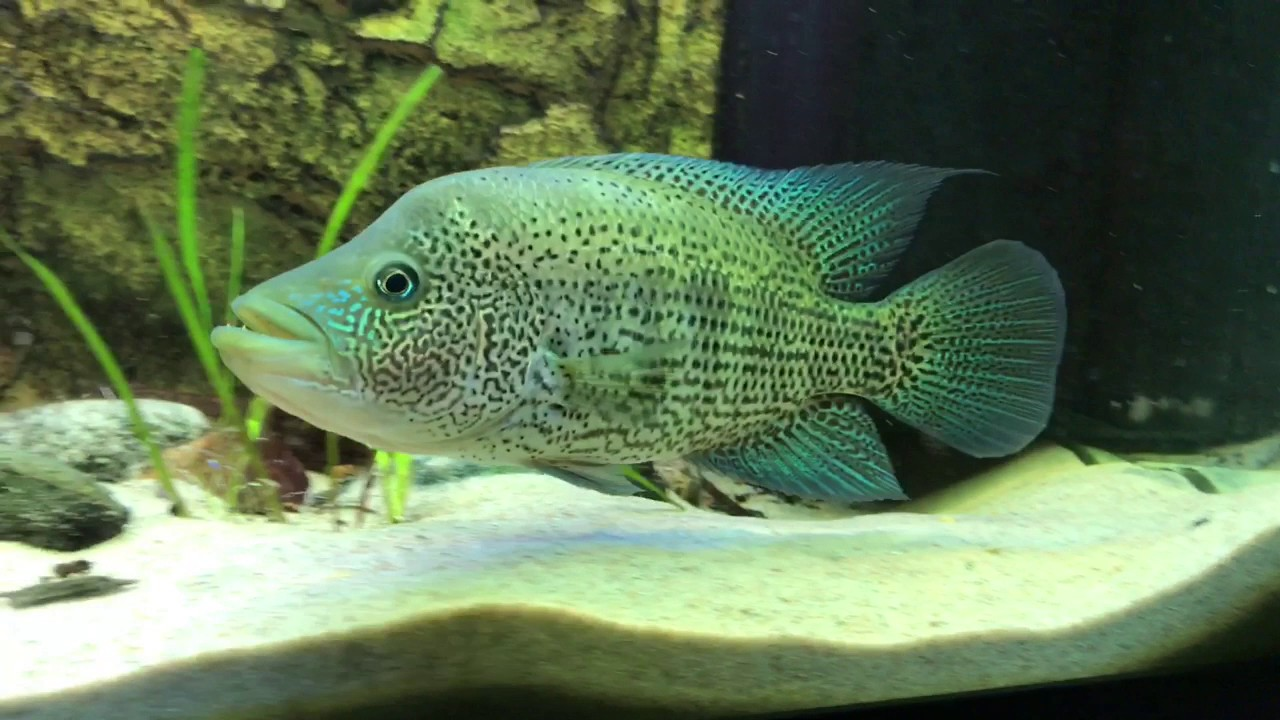 Parachromis Dovii Wolf Cichlid Live Fish And Tropical Pets