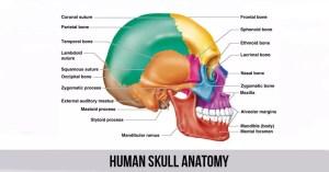 Human Skull Anatomy  World Wide Lifestyles | Fitness