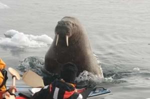 Walrus attack