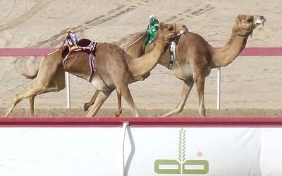 Camel Racing in the UAE