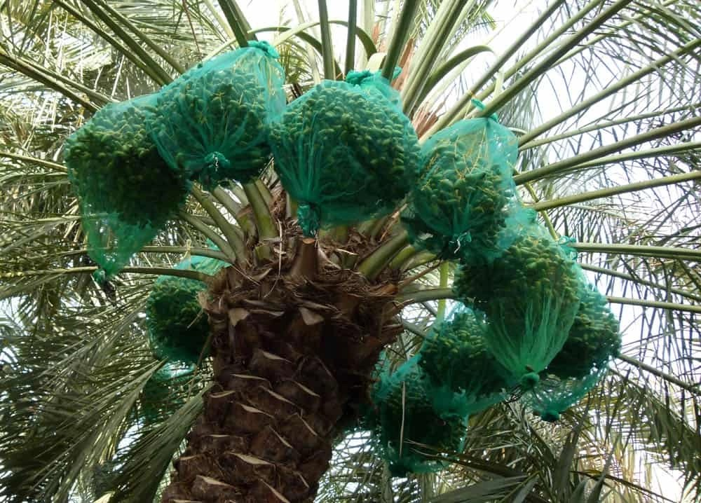 Date palms, Al Ain