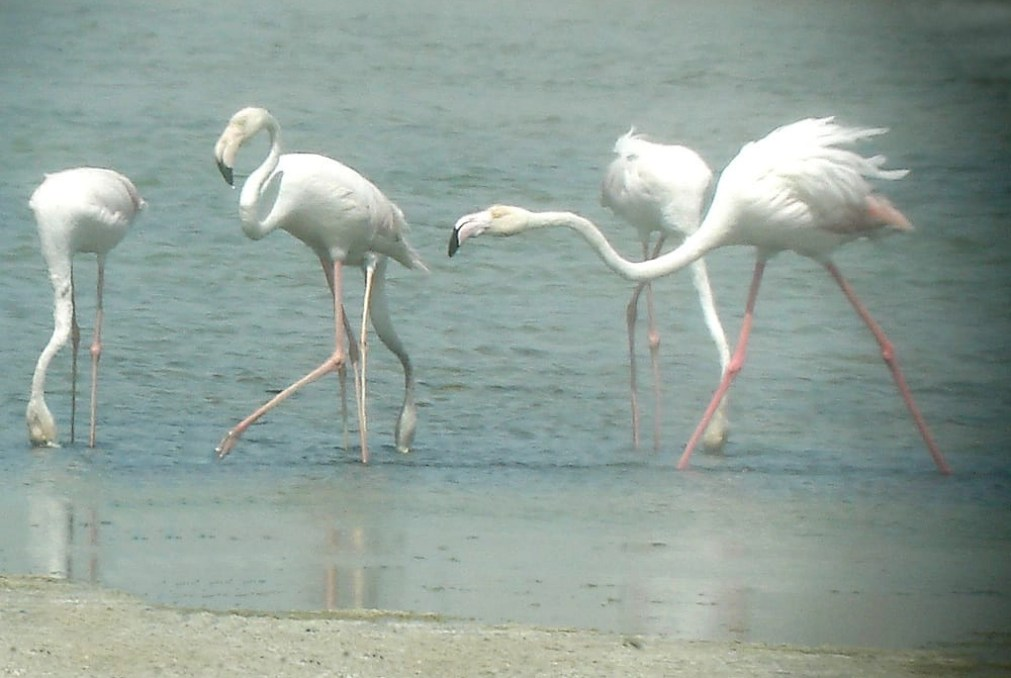 Flamingos at Ras Al Khor