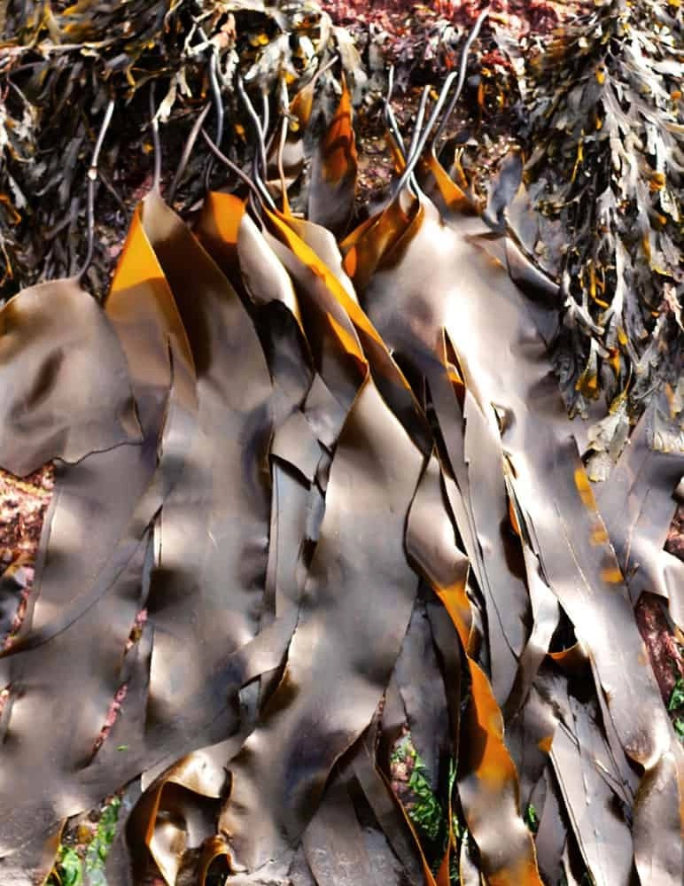 Oarweed (Laminaria digitata)