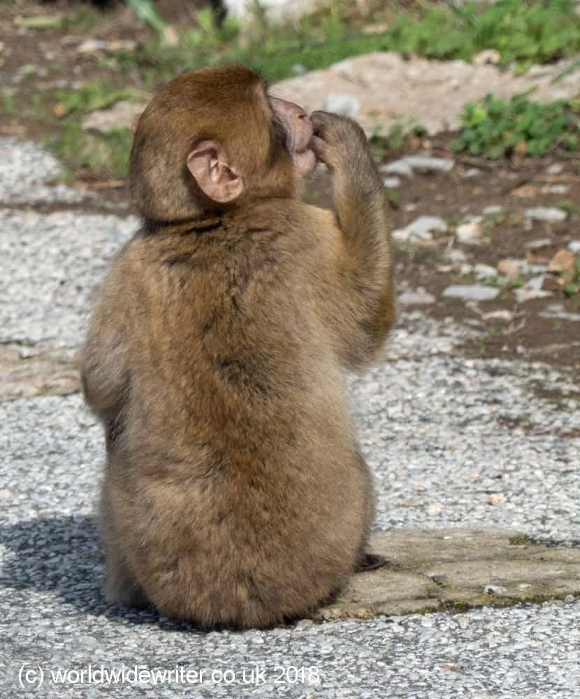 Macaque monkey, Gibraltar