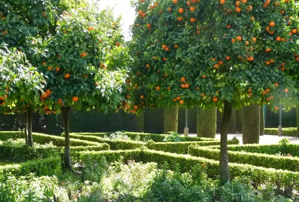 Walking Beside the Orange Trees at the Alcazar of Córdoba