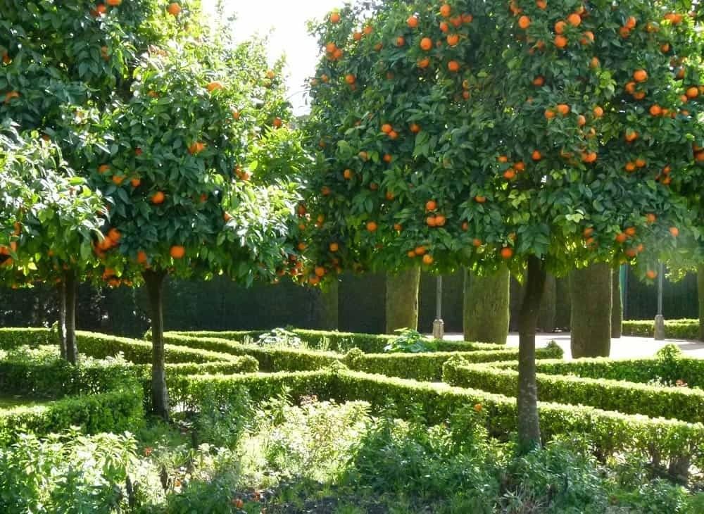 Orange trees at the Alcazar, Córdoba