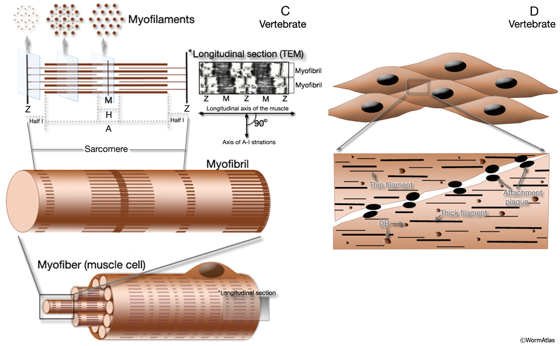 hight resolution of musfig 1cd the contractile apparatus in vertebrates