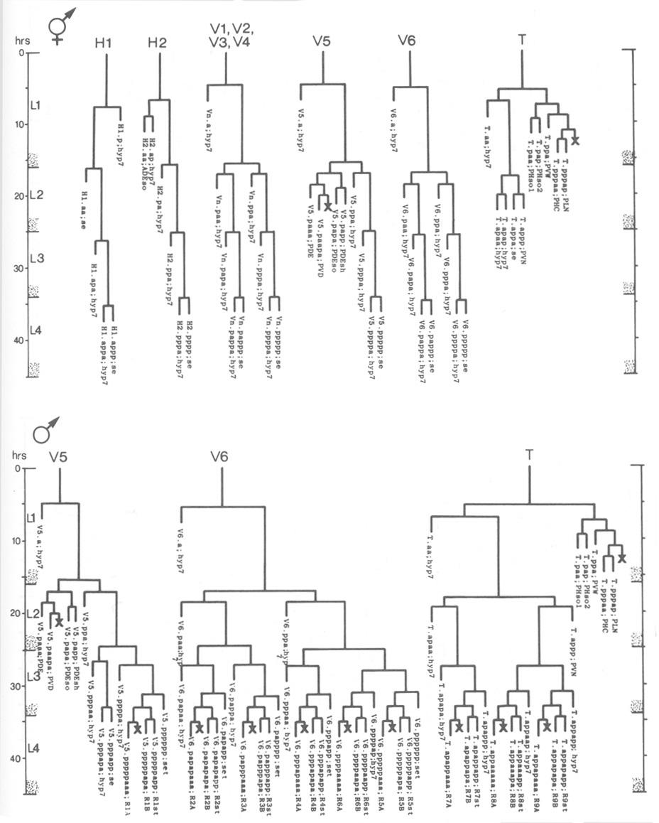 [DIAGRAM] Wiring Diagram C Elegans U2013 Wiring Diagram