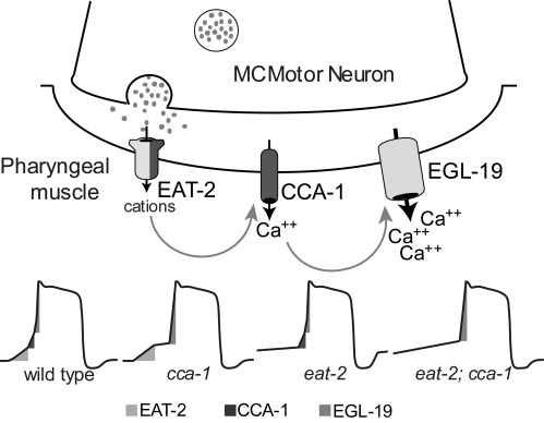 small resolution of schematic showing how eat 2 cca 1 and egl 19 cooperate to produce the upstroke of the pharyngeal action potential reproduced with permission