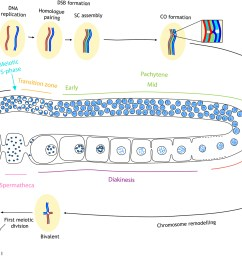 figure 1 diagram of meiotic events during oogenesis in the c elegans germ line for simplicity a single pair of homologous chromosomes is shown  [ 1800 x 1190 Pixel ]