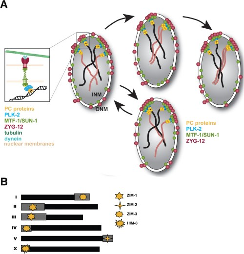 small resolution of figure 3 chromosome movements and homolog pairing during early prophase i a model depicting the attachment of chromosomes to the nuclear envelope and