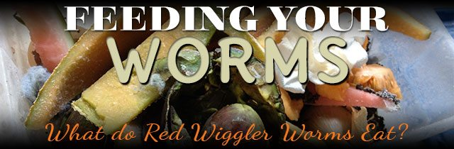 Feeding-Your-Worms