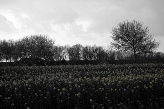 Rapswiese nahe des Campener Leuchtturms. Foto: Björn Othlinghaus