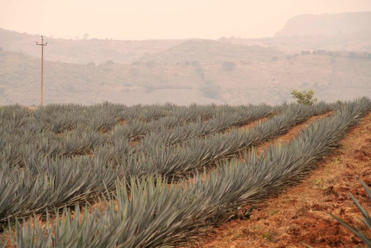 Agave plants can grow up to five feet tall after an eight to 12 year growing cycle. Photo courtesy of Clase Azul