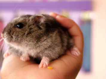 emotional support animal hamster