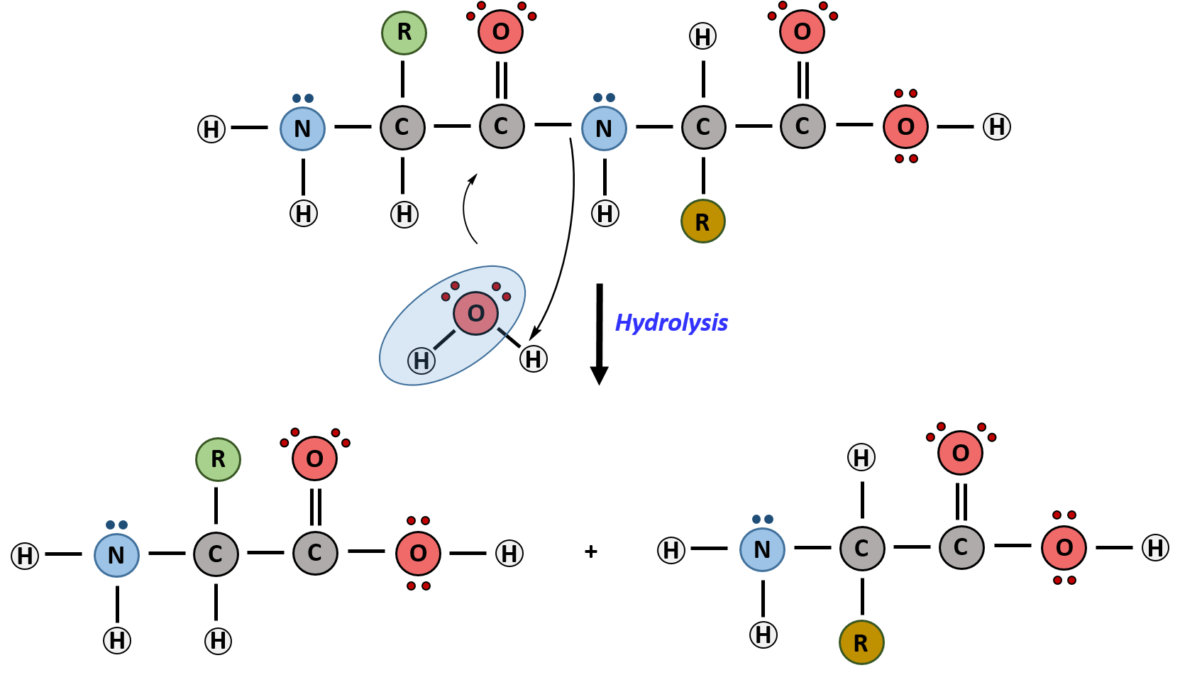 Ch103 Chapter 8 The Major Macromolecules Chemistry