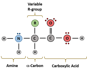 CH103 – Chapter 8: The Major Macromolecules – Chemistry